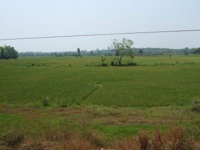 Reisfeld gegenueber See